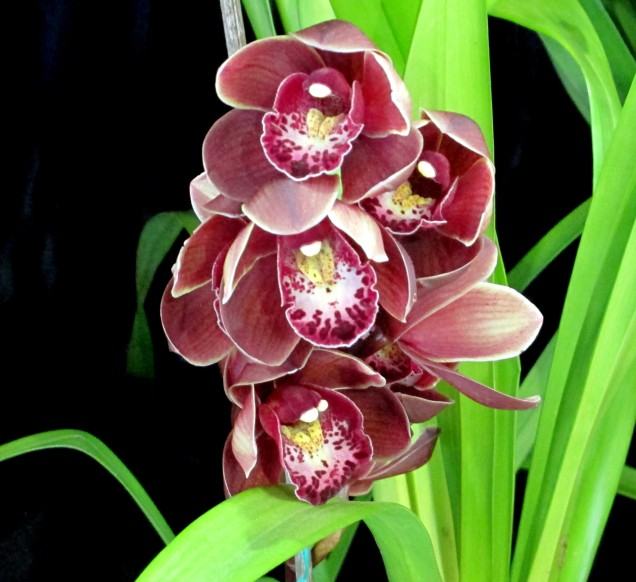 Cymbidium Last Tango x Doris, orchid, orchids, cymbidium, south east Melbourne, Melbourne, orchid clubs, orchid societies, OSCOV, orchid photos, orchid care, orchid pictures, orchid images, orchid shows, orchid newsletters, orchids on Facebook, orchids of Twitter, Moorabbin, Bentleigh, Brighton, Hampton, Sandringham, Black Rock, Beaumaris, Bayside Council, Bayside district, Kingston, Bayside Melbourne, SE Suburbs, Parkdale, Mordialloc, Carnegie, Cheltenham, McKinnon, Highett, Oakleigh, Clarinda, Heatherton, Clayton, Dingley, Elsternwick, Caulfield, Ormond, Glenhuntley, Murrumbeena,