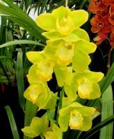 Cymbidium Lunakira x Pure Envy, orchid, orchids, cymbidium, south east Melbourne, Melbourne, orchid clubs, orchid societies, OSCOV, orchid