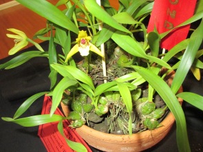 Maxillaria Porphyrostele, maxillaria, orchid, orchids, cymbidium, south east Melbourne, Melbourne, orchid clubs, orchid societies, OSCOV, orchid photos, orchid care, orchid pictures, orchid images, orchid shows, orchid newsletters, orchids on Facebook, orchids of Twitter, Moorabbin, Bentleigh, Brighton, Hampton, Sandringham, Black Rock, Beaumaris, Bayside Council, Bayside district, Kingston, Bayside Melbourne, SE Suburbs, Parkdale, Mordialloc, Carnegie, Cheltenham, McKinnon, Highett, Oakleigh, Clarinda, Heatherton, Clayton, Dingley, Elsternwick, Caulfield, Ormond, Glenhuntley, Murrumbeena,