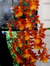 Oncidium allainces - Brazilian type dancing lady orchid, dancing lady orchid, oncidiums, orchid, orchids, cymbidium, south east Melbourne, Melbourne, orchid clubs, orchid societies, OSCOV, orchid photos, orchid care, orchid pictures, orchid images, orchid shows, orchid newsletters, orchids on Facebook, orchids of Twitter, Moorabbin, Bentleigh, Brighton, Hampton, Sandringham, Black Rock, Beaumaris, Bayside Council, Bayside district, Kingston, Bayside Melbourne, SE Suburbs, Parkdale, Mordialloc, Carnegie, Cheltenham, McKinnon, Highett, Oakleigh, Clarinda, Heatherton, Clayton, Dingley, Elsternwick, Caulfield, Ormond, Glenhuntley, Murrumbeena,