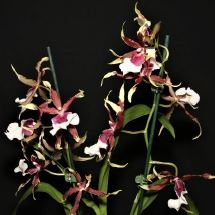 Oncidium cariniferum dancing lady orchid, dancing lady orchid, oncidiums, orchid, orchids, cymbidium, south east Melbourne, Melbourne, orchid clubs, orchid societies, OSCOV, orchid photos, orchid care, orchid pictures, orchid images, orchid shows, orchid newsletters, orchids on Facebook, orchids of Twitter, Moorabbin, Bentleigh, Brighton, Hampton, Sandringham, Black Rock, Beaumaris, Bayside Council, Bayside district, Kingston, Bayside Melbourne, SE Suburbs, Parkdale, Mordialloc, Carnegie, Cheltenham, McKinnon, Highett, Oakleigh, Clarinda, Heatherton, Clayton, Dingley, Elsternwick, Caulfield, Ormond, Glenhuntley, Murrumbeena,