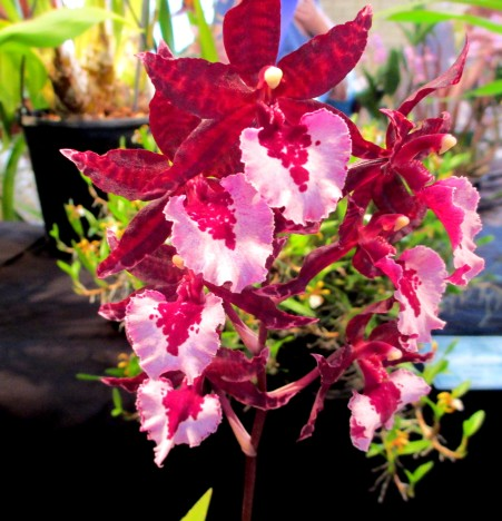 Oncidium masii 'Splash' Dancing Lady Orchid, dancing lady orchid, dancing lady orchids, oncidium, oncidiums, orchid, orchids, cymbidium, cymbidium kimberly splash, tee pee, south east Melbourne, Melbourne, orchid clubs, orchid societies, OSCOV, orchid photos, orchid care, orchid pictures, orchid images, orchid shows, orchid newsletters, orchids on Facebook, orchids of Twitter, Moorabbin, Bentleigh, Brighton, Hampton, Sandringham, Black Rock, Beaumaris, Bayside Council, Bayside district, Kingston, Bayside Melbourne, SE Suburbs, Parkdale, Mordialloc, Carnegie, Cheltenham, McKinnon, Highett, Oakleigh, Clarinda, Heatherton, Clayton, Dingley, Elsternwick, Caulfield, Ormond, Glenhuntley, Murrumbeena,