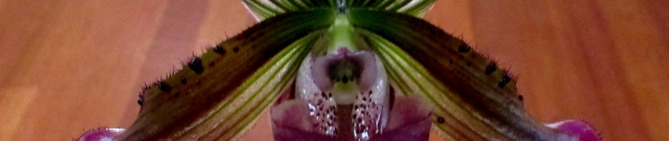 Paphiopedilum P John Francis x Nightarrow slipper, slipper orchid, paphs, paphiopedilums, orchid, orchids, cymbidium, south east Melbourne, Melbourne, orchid clubs, orchid societies, OSCOV, orchid photos, orchid care, orchid pictures, orchid images, orchid shows, orchid newsletters, orchids on Facebook, orchids of Twitter, Moorabbin, Bentleigh, Brighton, Hampton, Sandringham, Black Rock, Beaumaris, Bayside Council, Bayside district, Kingston, Bayside Melbourne, SE Suburbs, Parkdale, Mordialloc, Carnegie, Cheltenham, McKinnon, Highett, Oakleigh, Clarinda, Heatherton, Clayton, Dingley, Elsternwick, Caulfield, Ormond, Glenhuntley, Murrumbeena, orchid