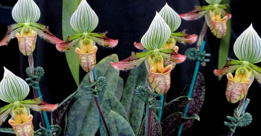 Paphiopedilum venustum slipper orchids, slipper orchids, paphs, paphiopedilums, orchid, orchids, cymbidium, south east Melbourne, Melbourne, orchid clubs, orchid societies, OSCOV, orchid photos, orchid care, orchid pictures, orchid images, orchid shows, orchid newsletters, orchids on Facebook, orchids of Twitter, Moorabbin, Bentleigh, Brighton, Hampton, Sandringham, Black Rock, Beaumaris, Bayside Council, Bayside district, Kingston, Bayside Melbourne, SE Suburbs, Parkdale, Mordialloc, Carnegie, Cheltenham, McKinnon, Highett, Oakleigh, Clarinda, Heatherton, Clayton, Dingley, Elsternwick, Caulfield, Ormond, Glenhuntley, Murrumbeena,