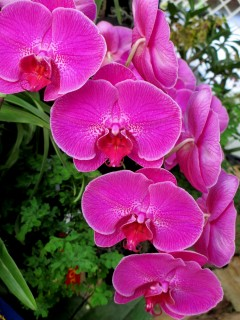 Phalaenopsis (unknown hot pink) moth orchid, moth orchids, phaelenopsis, orchid, orchids, cymbidium, south east Melbourne, Melbourne, orchid clubs, orchid societies, OSCOV, orchid photos, orchid care, orchid pictures, orchid images, orchid shows, orchid newsletters, orchids on Facebook, orchids of Twitter, Moorabbin, Bentleigh, Brighton, Hampton, Sandringham, Black Rock, Beaumaris, Bayside Council, Bayside district, Kingston, Bayside Melbourne, SE Suburbs, Parkdale, Mordialloc, Carnegie, Cheltenham, McKinnon, Highett, Oakleigh, Clarinda, Heatherton, Clayton, Dingley, Elsternwick, Caulfield, Ormond, Glenhuntley, Murrumbeena,