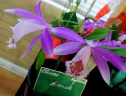 Pleione Beenak, pleionies, orchid, orchids, cymbidium, south east Melbourne, Melbourne, orchid clubs, orchid societies, OSCOV, orchid photos, orchid care, orchid pictures, orchid images, orchid shows, orchid newsletters, orchids on Facebook, orchids of Twitter, Moorabbin, Bentleigh, Brighton, Hampton, Sandringham, Black Rock, Beaumaris, Bayside Council, Bayside district, Kingston, Bayside Melbourne, SE Suburbs, Parkdale, Mordialloc, Carnegie, Cheltenham, McKinnon, Highett, Oakleigh, Clarinda, Heatherton, Clayton, Dingley, Elsternwick, Caulfield, Ormond, Glenhuntley, Murrumbeena,