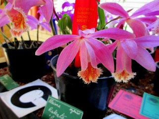 Pleione rakata 'Princess', pleiones, orchid, orchids, cymbidium, cymbidium kimberly splash, tee pee, south east Melbourne, Melbourne, orchid clubs, orchid societies, OSCOV, orchid photos, orchid care, orchid pictures, orchid images, orchid shows, orchid newsletters, orchids on Facebook, orchids of Twitter, Moorabbin, Bentleigh, Brighton, Hampton, Sandringham, Black Rock, Beaumaris, Bayside Council, Bayside district, Kingston, Bayside Melbourne, SE Suburbs, Parkdale, Mordialloc, Carnegie, Cheltenham, McKinnon, Highett, Oakleigh, Clarinda, Heatherton, Clayton, Dingley, Elsternwick, Caulfield, Ormond, Glenhuntley, Murrumbeena,