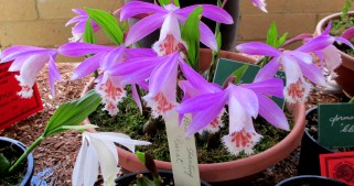 Pleione formosana 'Classic', pleiones, orchid, orchids, cymbidium, cymbidium kimberly splash, tee pee, south east Melbourne, Melbourne, orchid clubs, orchid societies, OSCOV, orchid photos, orchid care, orchid pictures, orchid images, orchid shows, orchid newsletters, orchids on Facebook, orchids of Twitter, Moorabbin, Bentleigh, Brighton, Hampton, Sandringham, Black Rock, Beaumaris, Bayside Council, Bayside district, Kingston, Bayside Melbourne, SE Suburbs, Parkdale, Mordialloc, Carnegie, Cheltenham, McKinnon, Highett, Oakleigh, Clarinda, Heatherton, Clayton, Dingley, Elsternwick, Caulfield, Ormond, Glenhuntley, Murrumbeena,