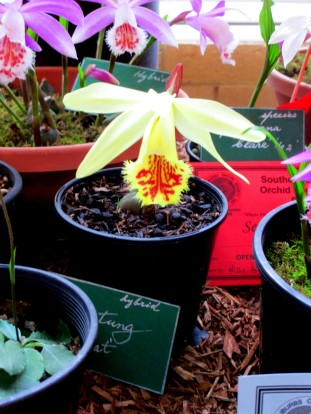 Pleione Shantung 'Ducat', pleiones, orchid, orchids, cymbidium, cymbidium kimberly splash, tee pee, south east Melbourne, Melbourne, orchid clubs, orchid societies, OSCOV, orchid photos, orchid care, orchid pictures, orchid images, orchid shows, orchid newsletters, orchids on Facebook, orchids of Twitter, Moorabbin, Bentleigh, Brighton, Hampton, Sandringham, Black Rock, Beaumaris, Bayside Council, Bayside district, Kingston, Bayside Melbourne, SE Suburbs, Parkdale, Mordialloc, Carnegie, Cheltenham, McKinnon, Highett, Oakleigh, Clarinda, Heatherton, Clayton, Dingley, Elsternwick, Caulfield, Ormond, Glenhuntley, Murrumbeena,