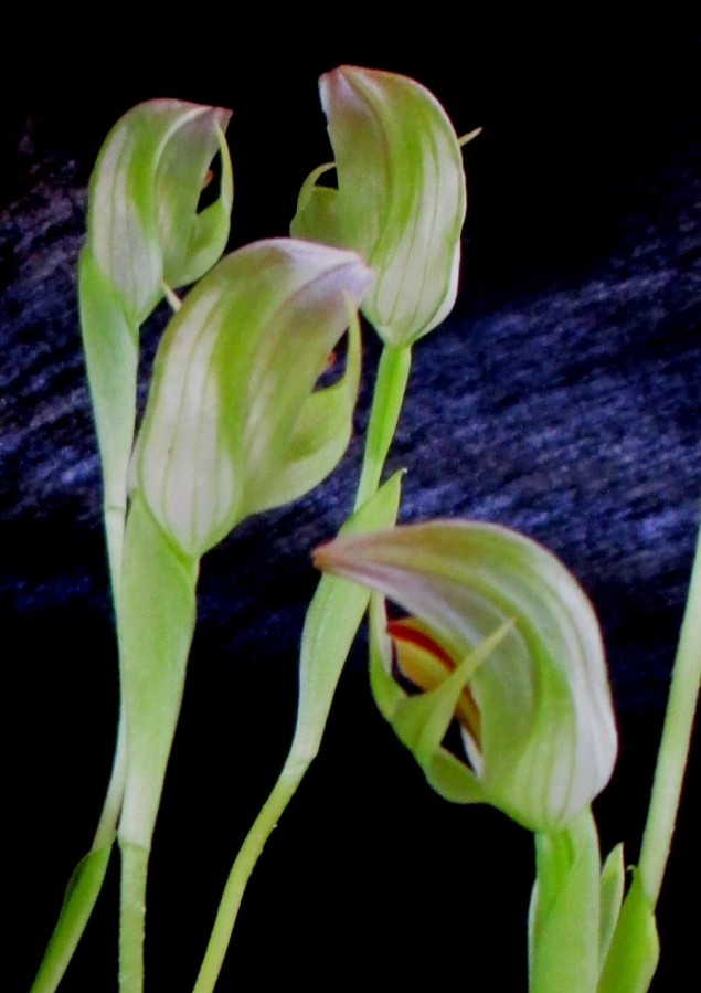 Pterostylis- close-up greenhood orchids, greenhood orchids, greenhoods, pterostylis, terrestrials, terrestrial orchids, orchid, orchids, cymbidium, south east Melbourne, Melbourne, orchid clubs, orchid societies, OSCOV, orchid photos, orchid care, orchid pictures, orchid images, orchid shows, orchid newsletters, orchids on Facebook, orchids of Twitter, Moorabbin, Bentleigh, Brighton, Hampton, Sandringham, Black Rock, Beaumaris, Bayside Council, Bayside district, Kingston, Bayside Melbourne, SE Suburbs, Parkdale, Mordialloc, Carnegie, Cheltenham, McKinnon, Highett, Oakleigh, Clarinda, Heatherton, Clayton, Dingley, Elsternwick, Caulfield, Ormond, Glenhuntley, Murrumbeena,