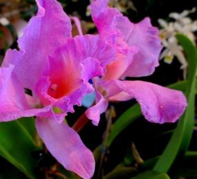 RLC Rhyncolaelia Cattleya Cornerstone, Rhyncolaelia cattleya, orchid, orchids, cymbidium, cymbidium kimberly splash, tee pee, south east Melbourne, Melbourne, orchid clubs, orchid societies, OSCOV, orchid photos, orchid care, orchid pictures, orchid images, orchid shows, orchid newsletters, orchids on Facebook, orchids of Twitter, Moorabbin, Bentleigh, Brighton, Hampton, Sandringham, Black Rock, Beaumaris, Bayside Council, Bayside district, Kingston, Bayside Melbourne, SE Suburbs, Parkdale, Mordialloc, Carnegie, Cheltenham, McKinnon, Highett, Oakleigh, Clarinda, Heatherton, Clayton, Dingley, Elsternwick, Caulfield, Ormond, Glenhuntley, Murrumbeena,
