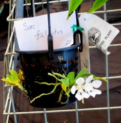 Sarcochilus falcatus, sarc, sarcochilus, falcatus, orchid, orchids, cymbidium, cymbidium kimberly splash, tee pee, south east Melbourne, Melbourne, orchid clubs, orchid societies, OSCOV, orchid photos, orchid care, orchid pictures, orchid images, orchid shows, orchid newsletters, orchids on Facebook, orchids of Twitter, Moorabbin, Bentleigh, Brighton, Hampton, Sandringham, Black Rock, Beaumaris, Bayside Council, Bayside district, Kingston, Bayside Melbourne, SE Suburbs, Parkdale, Mordialloc, Carnegie, Cheltenham, McKinnon, Highett, Oakleigh, Clarinda, Heatherton, Clayton, Dingley, Elsternwick, Caulfield, Ormond, Glenhuntley, Murrumbeena,