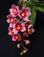 Sarcochilus Melodic George Colthrup x Melody), fairy orchid, fairy orchids, sarcs, sarcochilus, orchid, orchids, cymbidium, south east Melbourne, Melbourne, orchid clubs, orchid societies, OSCOV, orchid photos, orchid care, orchid pictures, orchid images, orchid shows, orchid newsletters, orchids on Facebook, orchids of Twitter, Moorabbin, Bentleigh, Brighton, Hampton, Sandringham, Black Rock, Beaumaris, Bayside Council, Bayside district, Kingston, Bayside Melbourne, SE Suburbs, Parkdale, Mordialloc, Carnegie, Cheltenham, McKinnon, Highett, Oakleigh, Clarinda, Heatherton, Clayton, Dingley, Elsternwick, Caulfield, Ormond, Glenhuntley, Murrumbeena,
