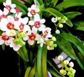 Sarchochilus Red The Globe fairy orchid, fairy orchid, fairy orchids, sarcs, sarcochilus, orchid, orchids, cymbidium, south east Melbourne, Melbourne, orchid clubs, orchid societies, OSCOV, orchid photos, orchid care, orchid pictures, orchid images, orchid shows, orchid newsletters, orchids on Facebook, orchids of Twitter, Moorabbin, Bentleigh, Brighton, Hampton, Sandringham, Black Rock, Beaumaris, Bayside Council, Bayside district, Kingston, Bayside Melbourne, SE Suburbs, Parkdale, Mordialloc, Carnegie, Cheltenham, McKinnon, Highett, Oakleigh, Clarinda, Heatherton, Clayton, Dingley, Elsternwick, Caulfield, Ormond, Glenhuntley, Murrumbeena,