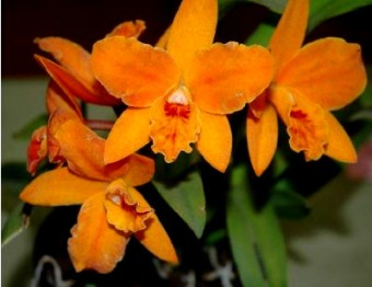 SLC Hazel Boyd 'Apricot Glow', laelias, cattleyas, orchid, orchids, cymbidium, south east Melbourne, Melbourne, orchid clubs, orchid societies, OSCOV, orchid photos, orchid care, orchid pictures, orchid images, orchid shows, orchid newsletters, orchids on Facebook, orchids of Twitter, Moorabbin, Bentleigh, Brighton, Hampton, Sandringham, Black Rock, Beaumaris, Bayside Council, Bayside district, Kingston, Bayside Melbourne, SE Suburbs, Parkdale, Mordialloc, Carnegie, Cheltenham, McKinnon, Highett, Oakleigh, Clarinda, Heatherton, Clayton, Dingley, Elsternwick, Caulfield, Ormond, Glenhuntley, Murrumbeena,