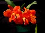 Saphrolaeliocattleya Hazel Boyd 'Apricot Glow', Saphrolaeliocattleya, SLC, cattleya, orchid, orchids, cymbidium, south east Melbourne, Melbourne, orchid clubs, orchid societies, OSCOV, orchid photos, orchid care, orchid pictures, orchid images, orchid shows, orchid newsletters, orchids on Facebook, orchids of Twitter, Moorabbin, Bentleigh, Brighton, Hampton, Sandringham, Black Rock, Beaumaris, Bayside Council, Bayside district, Kingston, Bayside Melbourne, SE Suburbs, Parkdale, Mordialloc, Carnegie, Cheltenham, McKinnon, Highett, Oakleigh, Clarinda, Heatherton, Clayton, Dingley, Elsternwick, Caulfield, Ormond, Glenhuntley, Murrumbeena,