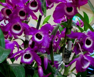 Dendrobium soft cane Terance Read, dendrobiums, soft cane orchids, soft canes, soft cane dendrobiums, orchid, orchids, cymbidium, south east Melbourne, Melbourne, orchid clubs, orchid societies, OSCOV, orchid photos, orchid care, orchid pictures, orchid images, orchid shows, orchid newsletters, orchids on Facebook, orchids of Twitter, Moorabbin, Bentleigh, Brighton, Hampton, Sandringham, Black Rock, Beaumaris, Bayside Council, Bayside district, Kingston, Bayside Melbourne, SE Suburbs, Parkdale, Mordialloc, Carnegie, Cheltenham, McKinnon, Highett, Oakleigh, Clarinda, Heatherton, Clayton, Dingley, Elsternwick, Caulfield, Ormond, Glenhuntley, Murrumbeena,
