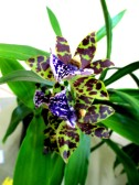 Zygopetalum Gacauve, zygos, zygopetilums, orchid, orchids, cymbidium, south east Melbourne, Melbourne, orchid clubs, orchid societies, OSCOV, orchid photos, orchid care, orchid pictures, orchid images, orchid shows, orchid newsletters, orchids on Facebook, orchids of Twitter, Moorabbin, Bentleigh, Brighton, Hampton, Sandringham, Black Rock, Beaumaris, Bayside Council, Bayside district, Kingston, Bayside Melbourne, SE Suburbs, Parkdale, Mordialloc, Carnegie, Cheltenham, McKinnon, Highett, Oakleigh, Clarinda, Heatherton, Clayton, Dingley, Elsternwick, Caulfield, Ormond, Glenhuntley, Murrumbeena,