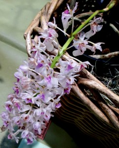 Dendrobium Lil x Full Moon, dendrobiums, orchid, orchids, cymbidium, south east Melbourne, Melbourne, orchid clubs, orchid societies, OSCOV, orchid photos, orchid care, orchid pictures, orchid images, orchid shows, orchid newsletters, orchids on Facebook, orchids of Twitter, Moorabbin, Bentleigh, Brighton, Hampton, Sandringham, Black Rock, Beaumaris, Bayside Council, Bayside district, Kingston, Bayside Melbourne, SE Suburbs, Parkdale, Mordialloc, Carnegie, Cheltenham, McKinnon, Highett, Oakleigh, Clarinda, Heatherton, Clayton, Dingley, Elsternwick, Caulfield, Ormond, Glenhuntley, Murrumbeena,