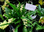 Oncidiinae Dwart 'Fragrance Fantasy', dancing lady orchid, dancing lady orchids, oncidiinae, oncidium, orchid, orchids, cymbidium, south east Melbourne, Melbourne, orchid clubs, orchid societies, OSCOV, orchid photos, orchid care, orchid pictures, orchid images, orchid shows, orchid newsletters, orchids on Facebook, orchids of Twitter, Moorabbin, Bentleigh, Brighton, Hampton, Sandringham, Black Rock, Beaumaris, Bayside Council, Bayside district, Kingston, Bayside Melbourne, SE Suburbs, Parkdale, Mordialloc, Carnegie, Cheltenham, McKinnon, Highett, Oakleigh, Clarinda, Heatherton, Clayton, Dingley, Elsternwick, Caulfield, Ormond, Glenhuntley, Murrumbeena,