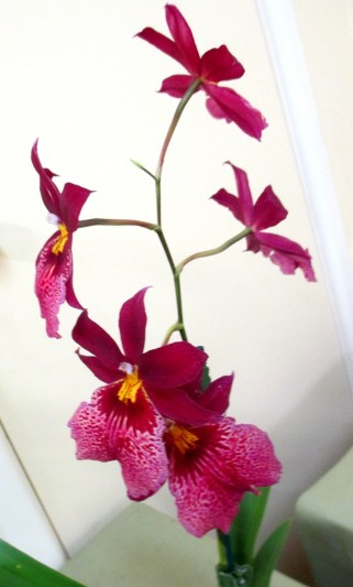 Oncidium Lisa Hasegawa Glen Red, oncidiums, oncidiinae, orchid, orchids, cymbidium, south east Melbourne, Melbourne, orchid clubs, orchid societies, OSCOV, orchid photos, orchid care, orchid pictures, orchid images, orchid shows, orchid newsletters, orchids on Facebook, orchids of Twitter, Moorabbin, Bentleigh, Brighton, Hampton, Sandringham, Black Rock, Beaumaris, Bayside Council, Bayside district, Kingston, Bayside Melbourne, SE Suburbs, Parkdale, Mordialloc, Carnegie, Cheltenham, McKinnon, Highett, Oakleigh, Clarinda, Heatherton, Clayton, Dingley, Elsternwick, Caulfield, Ormond, Glenhuntley, Murrumbeena,