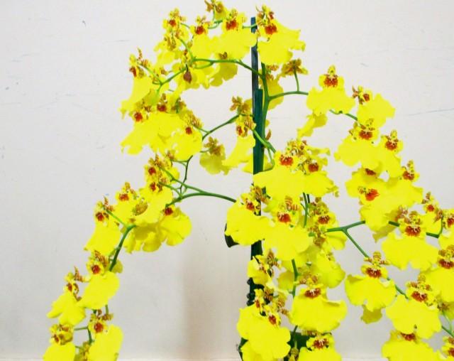 Oncidium Sweet Sugar Dancing Lady Orchid