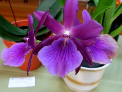 Miltonia regnellii x Anne Warne, miltonias, orchid, orchids, cymbidium, south east Melbourne, Melbourne, orchid clubs, orchid societies, OSCOV, orchid photos, orchid care, orchid pictures, orchid images, orchid shows, orchid newsletters, orchids on Facebook, orchids of Twitter, Moorabbin, Bentleigh, Brighton, Hampton, Sandringham, Black Rock, Beaumaris, Bayside Council, Bayside district, Kingston, Bayside Melbourne, SE Suburbs, Parkdale, Mordialloc, Carnegie, Cheltenham, McKinnon, Highett, Oakleigh, Clarinda, Heatherton, Clayton, Dingley, Elsternwick, Caulfield, Ormond, Glenhuntley, Murrumbeena,
