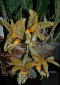 Stanhopea Bellaerensis, upside-down orchid, upside-down orchids, stanhopeas, orchid, orchids, cymbidium, south east Melbourne, Melbourne, orchid clubs, orchid societies, OSCOV, orchid photos, orchid care, orchid pictures, orchid images, orchid shows, orchid newsletters, orchids on Facebook, orchids of Twitter, Moorabbin, Bentleigh, Brighton, Hampton, Sandringham, Black Rock, Beaumaris, Bayside Council, Bayside district, Kingston, Bayside Melbourne, SE Suburbs, Parkdale, Mordialloc, Carnegie, Cheltenham, McKinnon, Highett, Oakleigh, Clarinda, Heatherton, Clayton, Dingley, Elsternwick, Caulfield, Ormond, Glenhuntley, Murrumbeena,
