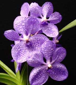 Vanda coerulea, vanda, vandas, trudelia, trudelias, orchid, orchids, cymbidium, south east Melbourne, Melbourne, orchid clubs, orchid societies, OSCOV, orchid photos, orchid care, orchid pictures, orchid images, orchid shows, orchid newsletters, orchids on Facebook, orchids of Twitter, Moorabbin, Bentleigh, Brighton, Hampton, Sandringham, Black Rock, Beaumaris, Bayside Council, Bayside district, Kingston, Bayside Melbourne, SE Suburbs, Parkdale, Mordialloc, Carnegie, Cheltenham, McKinnon, Highett, Oakleigh, Clarinda, Heatherton, Clayton, Dingley, Elsternwick, Caulfield, Ormond, Glenhuntley, Murrumbeena,