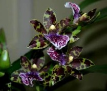Zygopetalum Gulnare, zygo, zygos, zygopetalums, orchid, orchids, cymbidium, south east Melbourne, Melbourne, orchid clubs, orchid societies, OSCOV, orchid photos, orchid care, orchid pictures, orchid images, orchid shows, orchid newsletters, orchids on Facebook, orchids of Twitter, Moorabbin, Bentleigh, Brighton, Hampton, Sandringham, Black Rock, Beaumaris, Bayside Council, Bayside district, Kingston, Bayside Melbourne, SE Suburbs, Parkdale, Mordialloc, Carnegie, Cheltenham, McKinnon, Highett, Oakleigh, Clarinda, Heatherton, Clayton, Dingley, Elsternwick, Caulfield, Ormond, Glenhuntley, Murrumbeena,