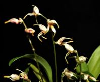 coelogynes, orchid, orchids, cymbidium, cymbidium kimberly splash, tee pee, south east Melbourne, Melbourne, orchid clubs, orchid societies, OSCOV, orchid photos, orchid care, orchid pictures, orchid images, orchid shows, orchid newsletters, orchids on Facebook, orchids of Twitter, Moorabbin, Bentleigh, Brighton, Hampton, Sandringham, Black Rock, Beaumaris, Bayside Council, Bayside district, Kingston, Bayside Melbourne, SE Suburbs, Parkdale, Mordialloc, Carnegie, Cheltenham, McKinnon, Highett, Oakleigh, Clarinda, Heatherton, Clayton, Dingley, Elsternwick, Caulfield, Ormond, Glenhuntley, Murrumbeena,