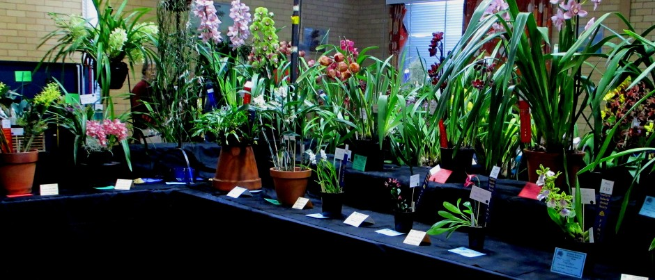 SSOS Spring Show 2017, orchid, orchids, cymbidium, cymbidium kimberly splash, tee pee, south east Melbourne, Melbourne, orchid clubs, orchid societies, OSCOV, orchid photos, orchid care, orchid pictures, orchid images, orchid shows, orchid newsletters, orchids on Facebook, orchids of Twitter, Moorabbin, Bentleigh, Brighton, Hampton, Sandringham, Black Rock, Beaumaris, Bayside Council, Bayside district, Kingston, Bayside Melbourne, SE Suburbs, Parkdale, Mordialloc, Carnegie, Cheltenham, McKinnon, Highett, Oakleigh, Clarinda, Heatherton, Clayton, Dingley, Elsternwick, Caulfield, Ormond, Glenhuntley, Murrumbeena,