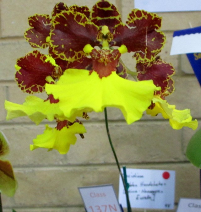 Oncidium Golden Handshake x (Mirra Nonamyre x Eureka), orchid, orchids, cymbidium, cymbidium kimberly splash, tee pee, south east Melbourne, Melbourne, orchid clubs, orchid societies, OSCOV, orchid photos, orchid care, orchid pictures, orchid images, orchid shows, orchid newsletters, orchids on Facebook, orchids of Twitter, Moorabbin, Bentleigh, Brighton, Hampton, Sandringham, Black Rock, Beaumaris, Bayside Council, Bayside district, Kingston, Bayside Melbourne, SE Suburbs, Parkdale, Mordialloc, Carnegie, Cheltenham, McKinnon, Highett, Oakleigh, Clarinda, Heatherton, Clayton, Dingley, Elsternwick, Caulfield, Ormond, Glenhuntley, Murrumbeena,