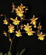Colmanara Wildcat 'Yellow Cat', orchid, orchids, cymbidium, cymbidium kimberly splash, tee pee, south east Melbourne, Melbourne, orchid clubs, orchid societies, OSCOV, orchid photos, orchid care, orchid pictures, orchid images, orchid shows, orchid newsletters, orchids on Facebook, orchids of Twitter, Moorabbin, Bentleigh, Brighton, Hampton, Sandringham, Black Rock, Beaumaris, Bayside Council, Bayside district, Kingston, Bayside Melbourne, SE Suburbs, Parkdale, Mordialloc, Carnegie, Cheltenham, McKinnon, Highett, Oakleigh, Clarinda, Heatherton, Clayton, Dingley, Elsternwick, Caulfield, Ormond, Glenhuntley, Murrumbeena,