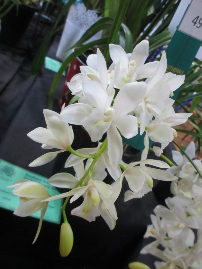 Cymbidium Sarah Jean'Ice Cascade', orchid, orchids, cymbidium, cymbidium kimberly splash, tee pee, south east Melbourne, Melbourne, orchid clubs, orchid societies, OSCOV, orchid photos, orchid care, orchid pictures, orchid images, orchid shows, orchid newsletters, orchids on Facebook, orchids of Twitter, Moorabbin, Bentleigh, Brighton, Hampton, Sandringham, Black Rock, Beaumaris, Bayside Council, Bayside district, Kingston, Bayside Melbourne, SE Suburbs, Parkdale, Mordialloc, Carnegie, Cheltenham, McKinnon, Highett, Oakleigh, Clarinda, Heatherton, Clayton, Dingley, Elsternwick, Caulfield, Ormond, Glenhuntley, Murrumbeena,