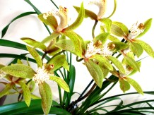 Cymbidium Marlborough Green x Tracyanum, orchid, orchids, cymbidium, cymbidium kimberly splash, tee pee, south east Melbourne, Melbourne, orchid clubs, orchid societies, OSCOV, orchid photos, orchid care, orchid pictures, orchid images, orchid shows, orchid newsletters, orchids on Facebook, orchids of Twitter, Moorabbin, Bentleigh, Brighton, Hampton, Sandringham, Black Rock, Beaumaris, Bayside Council, Bayside district, Kingston, Bayside Melbourne, SE Suburbs, Parkdale, Mordialloc, Carnegie, Cheltenham, McKinnon, Highett, Oakleigh, Clarinda, Heatherton, Clayton, Dingley, Elsternwick, Caulfield, Ormond, Glenhuntley, Murrumbeena,