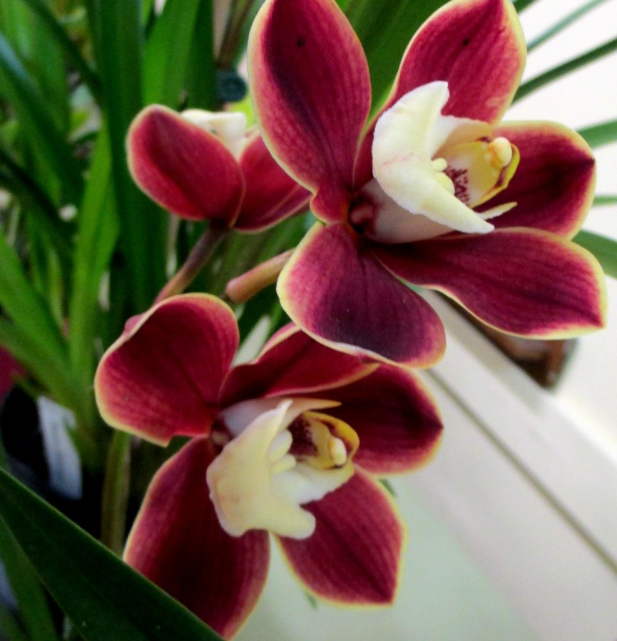 Cymbidium Red Pepper 'Janice', orchid, orchids, cymbidium, cymbidium kimberly splash, tee pee, south east Melbourne, Melbourne, orchid clubs, orchid societies, OSCOV, orchid photos, orchid care, orchid pictures, orchid images, orchid shows, orchid newsletters, orchids on Facebook, orchids of Twitter, Moorabbin, Bentleigh, Brighton, Hampton, Sandringham, Black Rock, Beaumaris, Bayside Council, Bayside district, Kingston, Bayside Melbourne, SE Suburbs, Parkdale, Mordialloc, Carnegie, Cheltenham, McKinnon, Highett, Oakleigh, Clarinda, Heatherton, Clayton, Dingley, Elsternwick, Caulfield, Ormond, Glenhuntley, Murrumbeena,