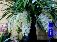 Cymbidium Sarah Jean 'Ice Cascade', orchid, orchids, cymbidium, cymbidium kimberly splash, tee pee, south east Melbourne, Melbourne, orchid clubs, orchid societies, OSCOV, orchid photos, orchid care, orchid pictures, orchid images, orchid shows, orchid newsletters, orchids on Facebook, orchids of Twitter, Moorabbin, Bentleigh, Brighton, Hampton, Sandringham, Black Rock, Beaumaris, Bayside Council, Bayside district, Kingston, Bayside Melbourne, SE Suburbs, Parkdale, Mordialloc, Carnegie, Cheltenham, McKinnon, Highett, Oakleigh, Clarinda, Heatherton, Clayton, Dingley, Elsternwick, Caulfield, Ormond, Glenhuntley, Murrumbeena,