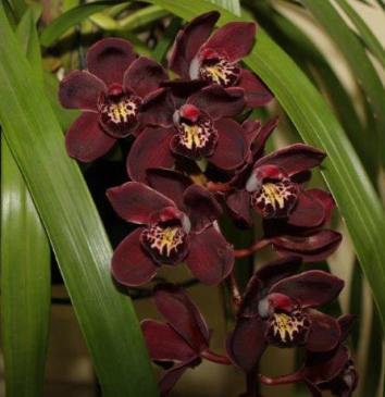 Cymbidium Ten Pin 'Angels', orchid, orchids, cymbidium, cymbidium kimberly splash, tee pee, south east Melbourne, Melbourne, orchid clubs, orchid societies, OSCOV, orchid photos, orchid care, orchid pictures, orchid images, orchid shows, orchid newsletters, orchids on Facebook, orchids of Twitter, Moorabbin, Bentleigh, Brighton, Hampton, Sandringham, Black Rock, Beaumaris, Bayside Council, Bayside district, Kingston, Bayside Melbourne, SE Suburbs, Parkdale, Mordialloc, Carnegie, Cheltenham, McKinnon, Highett, Oakleigh, Clarinda, Heatherton, Clayton, Dingley, Elsternwick, Caulfield, Ormond, Glenhuntley, Murrumbeena,