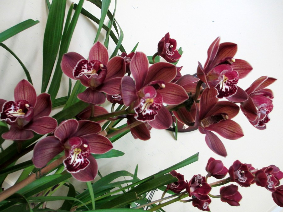 Cymbidium Tequila Sunrise, orchid, orchids, cymbidium, cymbidium kimberly splash, tee pee, south east Melbourne, Melbourne, orchid clubs, orchid societies, OSCOV, orchid photos, orchid care, orchid pictures, orchid images, orchid shows, orchid newsletters, orchids on Facebook, orchids of Twitter, Moorabbin, Bentleigh, Brighton, Hampton, Sandringham, Black Rock, Beaumaris, Bayside Council, Bayside district, Kingston, Bayside Melbourne, SE Suburbs, Parkdale, Mordialloc, Carnegie, Cheltenham, McKinnon, Highett, Oakleigh, Clarinda, Heatherton, Clayton, Dingley, Elsternwick, Caulfield, Ormond, Glenhuntley, Murrumbeena,