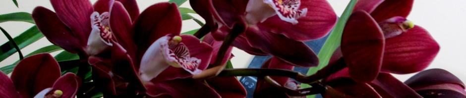 Cymbidium Walamuna 'Jupiter', orchid, orchids, cymbidium, cymbidium kimberly splash, tee pee, south east Melbourne, Melbourne, orchid clubs, orchid societies, OSCOV, orchid photos, orchid care, orchid pictures, orchid images, orchid shows, orchid newsletters, orchids on Facebook, orchids of Twitter, Moorabbin, Bentleigh, Brighton, Hampton, Sandringham, Black Rock, Beaumaris, Bayside Council, Bayside district, Kingston, Bayside Melbourne, SE Suburbs, Parkdale, Mordialloc, Carnegie, Cheltenham, McKinnon, Highett, Oakleigh, Clarinda, Heatherton, Clayton, Dingley, Elsternwick, Caulfield, Ormond, Glenhuntley, Murrumbeena,