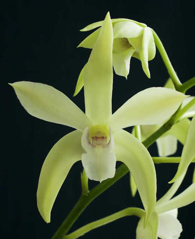 Dendrobium Seventh Heaven
