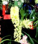 Dendrobium speciosum curvicaule 'Tony's' 1 orchid, orchids, cymbidium, cymbidium kimberly splash, tee pee, south east Melbourne, Melbourne, orchid clubs, orchid societies, OSCOV, orchid photos, orchid care, orchid pictures, orchid images, orchid shows, orchid newsletters, orchids on Facebook, orchids of Twitter, Moorabbin, Bentleigh, Brighton, Hampton, Sandringham, Black Rock, Beaumaris, Bayside Council, Bayside district, Kingston, Bayside Melbourne, SE Suburbs, Parkdale, Mordialloc, Carnegie, Cheltenham, McKinnon, Highett, Oakleigh, Clarinda, Heatherton, Clayton, Dingley, Elsternwick, Caulfield, Ormond, Glenhuntley, Murrumbeena,