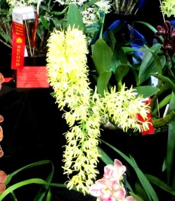 Dendrobium speciosum curvicaule 'Tony's' 1 orchid, orchids, cymbidium, cymbidium kimberly splash, tee pee, south east Melbourne, Melbourne, orchid clubs, orchid societies, OSCOV, orchid photos, orchid care, orchid pictures, orchid images, orchid shows, orchid newsletters, orchids on Facebook, orchids of Twitter, Moorabbin, Bentleigh, Brighton, Hampton, Sandringham, Black Rock, Beaumaris, Bayside Council, Bayside district, Kingston, Bayside Melbourne, SE Suburbs, Parkdale, Mordialloc, Carnegie, Cheltenham, McKinnon, Highett, Oakleigh, Clarinda, Heatherton, Clayton, Dingley, Elsternwick, Caulfield, Ormond, Glenhuntley, Murrumbeena,