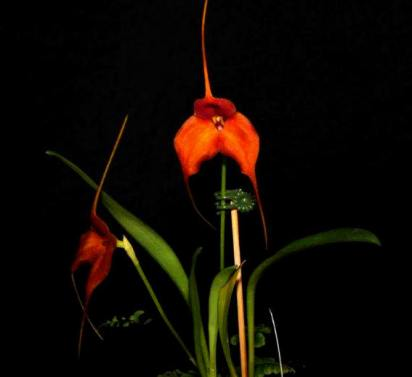 masdevallias, Masdevallia Sundancer x Mem Herta Weise, orchid, orchids, cymbidium, cymbidium kimberly splash, tee pee, south east Melbourne, Melbourne, orchid clubs, orchid societies, OSCOV, orchid photos, orchid care, orchid pictures, orchid images, orchid shows, orchid newsletters, orchids on Facebook, orchids of Twitter, Moorabbin, Bentleigh, Brighton, Hampton, Sandringham, Black Rock, Beaumaris, Bayside Council, Bayside district, Kingston, Bayside Melbourne, SE Suburbs, Parkdale, Mordialloc, Carnegie, Cheltenham, McKinnon, Highett, Oakleigh, Clarinda, Heatherton, Clayton, Dingley, Elsternwick, Caulfield, Ormond, Glenhuntley, Murrumbeena,