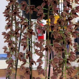 Cymbidium Cricket 'Judith Anne', orchid, orchids, cymbidium, cymbidium kimberly splash, tee pee, south east Melbourne, Melbourne, orchid clubs, orchid societies, OSCOV, orchid photos, orchid care, orchid pictures, orchid images, orchid shows, orchid newsletters, orchids on Facebook, orchids of Twitter, Moorabbin, Bentleigh, Brighton, Hampton, Sandringham, Black Rock, Beaumaris, Bayside Council, Bayside district, Kingston, Bayside Melbourne, SE Suburbs, Parkdale, Mordialloc, Carnegie, Cheltenham, McKinnon, Highett, Oakleigh, Clarinda, Heatherton, Clayton, Dingley, Elsternwick, Caulfield, Ormond, Glenhuntley, Murrumbeena,