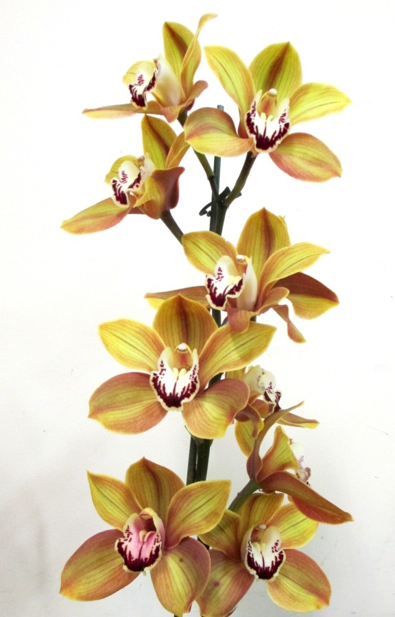 Cymbidium Don Quixote, orchid, orchids, cymbidium, cymbidium kimberly splash, tee pee, south east Melbourne, Melbourne, orchid clubs, orchid societies, OSCOV, orchid photos, orchid care, orchid pictures, orchid images, orchid shows, orchid newsletters, orchids on Facebook, orchids of Twitter, Moorabbin, Bentleigh, Brighton, Hampton, Sandringham, Black Rock, Beaumaris, Bayside Council, Bayside district, Kingston, Bayside Melbourne, SE Suburbs, Parkdale, Mordialloc, Carnegie, Cheltenham, McKinnon, Highett, Oakleigh, Clarinda, Heatherton, Clayton, Dingley, Elsternwick, Caulfield, Ormond, Glenhuntley, Murrumbeena,