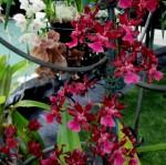 oncidium sharry baby sweet fragrance, orchid, orchids, cymbidium, cymbidium kimberly splash, tee pee, south east Melbourne, Melbourne, orchid clubs, orchid societies, OSCOV, orchid photos, orchid care, orchid pictures, orchid images, orchid shows, orchid newsletters, orchids on Facebook, orchids of Twitter, Moorabbin, Bentleigh, Brighton, Hampton, Sandringham, Black Rock, Beaumaris, Bayside Council, Bayside district, Kingston, Bayside Melbourne, SE Suburbs, Parkdale, Mordialloc, Carnegie, Cheltenham, McKinnon, Highett, Oakleigh, Clarinda, Heatherton, Clayton, Dingley, Elsternwick, Caulfield, Ormond, Glenhuntley, Murrumbeena,