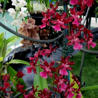 oncidium sharry baby sweet fragrance, orchid, orchids, cymbidium, cymbidium kimberly splash, tee pee, south east Melbourne, Melbourne, orchid clubs, orchid societies, OSCOV, orchid photos, orchid care, orchid pictures, orchid images, orchid shows, orchid newsletters, orchids on Facebook, orchids of Twitter, Moorabbin, Bentleigh, Brighton, Hampton, Sandringham, Black Rock, Beaumaris, Bayside Council, Bayside district, Kingston, Bayside Melbourne, SE Suburbs, Parkdale, Mordialloc, Carnegie, Cheltenham, McKinnon, Highett, Oakleigh, Clarinda, Heatherton, Clayton, Dingley, Elsternwick, Caulfield, Ormond, Glenhuntley, Murrumbeena,