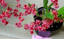 Oncidium Twinkle 'Red Fantasy', orchid, orchids, cymbidium, cymbidium kimberly splash, tee pee, south east Melbourne, Melbourne, orchid clubs, orchid societies, OSCOV, orchid photos, orchid care, orchid pictures, orchid images, orchid shows, orchid newsletters, orchids on Facebook, orchids of Twitter, Moorabbin, Bentleigh, Brighton, Hampton, Sandringham, Black Rock, Beaumaris, Bayside Council, Bayside district, Kingston, Bayside Melbourne, SE Suburbs, Parkdale, Mordialloc, Carnegie, Cheltenham, McKinnon, Highett, Oakleigh, Clarinda, Heatherton, Clayton, Dingley, Elsternwick, Caulfield, Ormond, Glenhuntley, Murrumbeena,